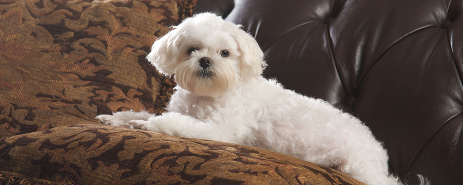 Maltese relaxing on the couch while waiting for dog food
