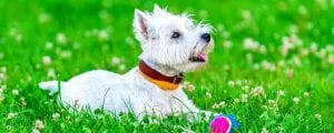 Happy Westie playing ball in a field