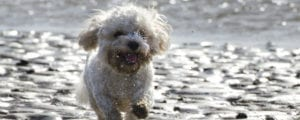 Cavapoo running on beach