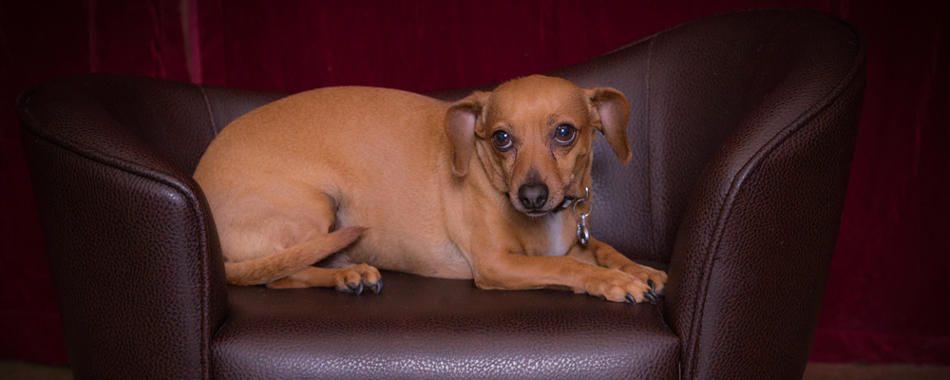 Chiweenie relaxing in chair
